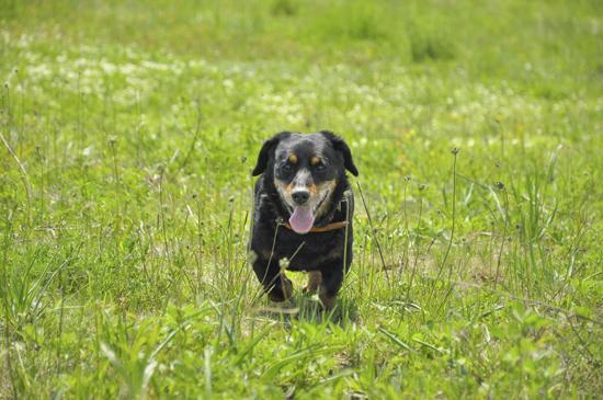 Old Dog Walking Through Grass