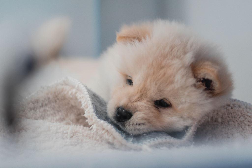 Puppy Sleeping on blanket